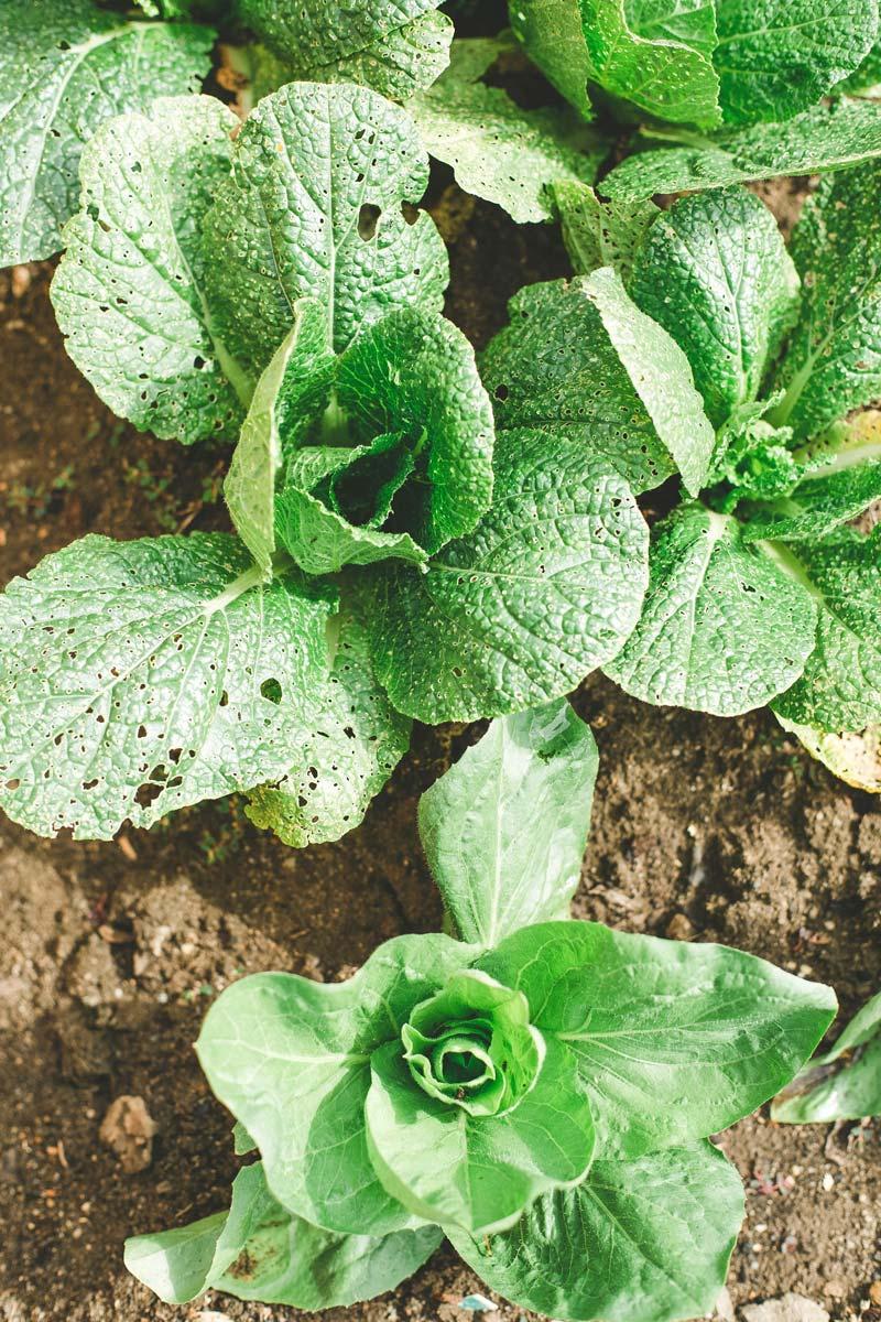 Comment Bien Faire Pousser Du Basilic comment faire pousser des légumes à partir de restes de table
