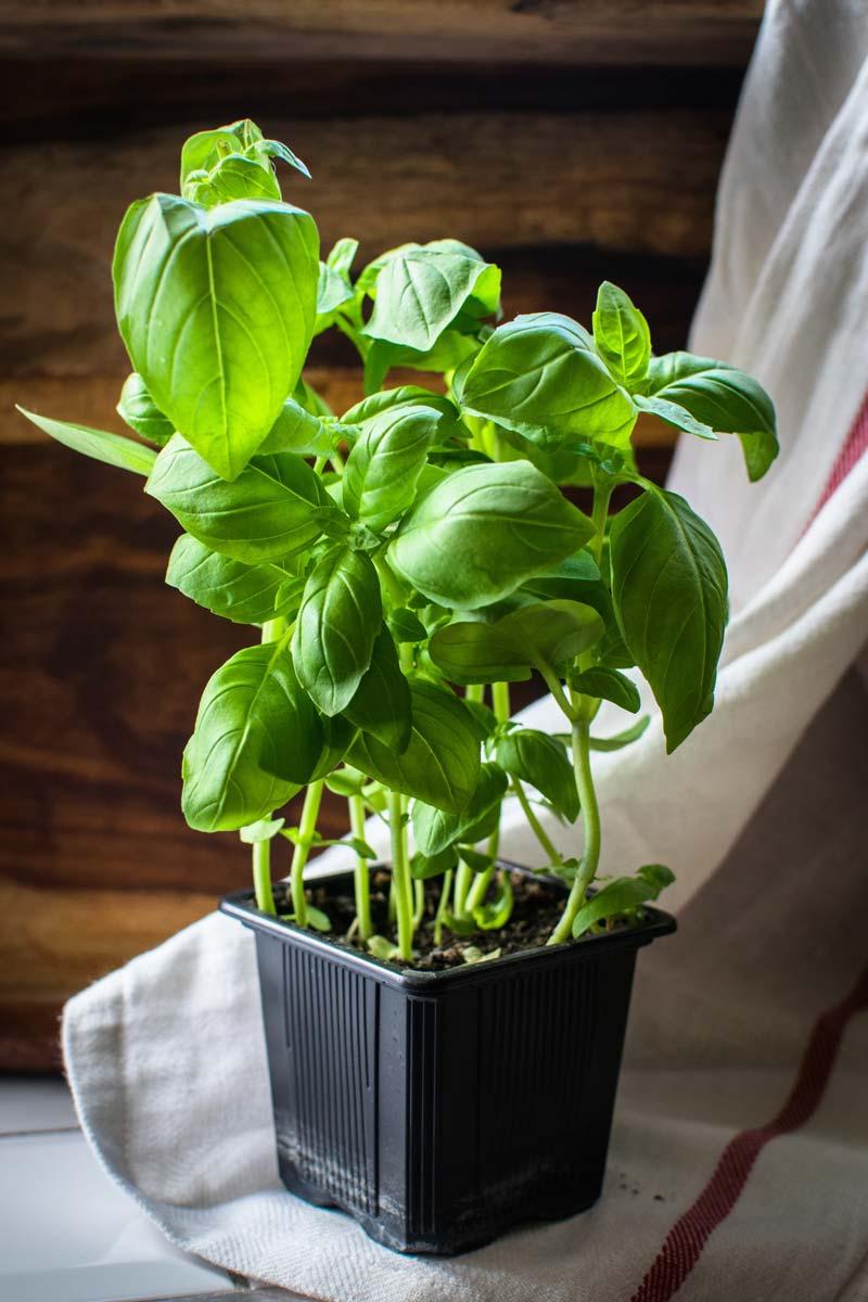 Faire Pousser Des Oignons En Pot comment faire pousser des légumes à partir de restes de table